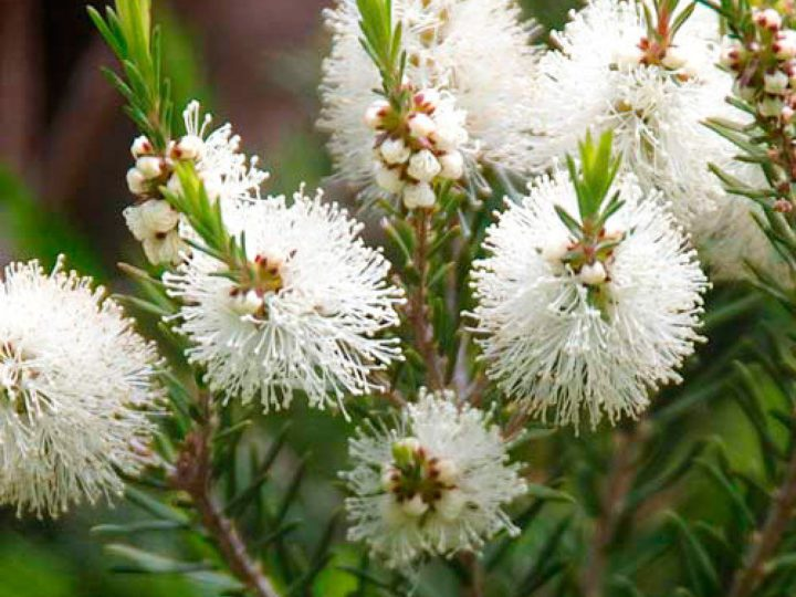 Beneficios del árbol de te: mucho más allá de los usos cosméticos